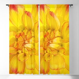 A Yellow Dahlia with Pink tips Close Up Detail Blackout Curtain