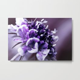 Purple Scabious Macro Metal Print