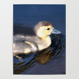 Cute Duckling Swimming in a Pond Poster