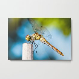 Beautiful colorful dragonfly insect resting on dried bamboo stick in summer taken in macro Metal Print