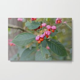 Spindle Tree (Euonymous europaeus) Metal Print