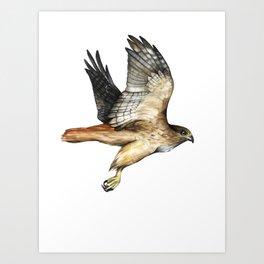 Red Tail Hawk in Flight Watercolor Art Print