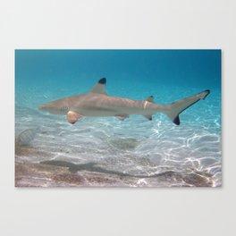 Black Tip Reef Shark, Vilamendhoo, Maldives Canvas Print