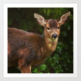 Black Tail Deer chewing on clover. Art Print