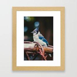 Blue Jay (Color) Framed Art Print