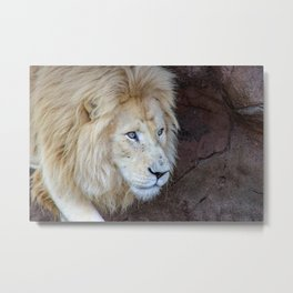 Male white lion Metal Print
