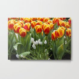 Red and Yellow Stripes Tulips with White Blossoms underneath in Amsterdam, Netherlands Metal Print
