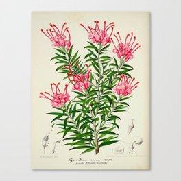 Grevillea Rosea Vintage Botanical Floral Flower Plant Scientific Illustration Canvas Print