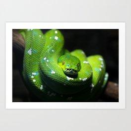 Green tree python (Morelia viridis), on a tree branch, dark background Art Print