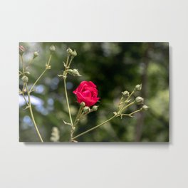 Lovely red rose on bokeh background Metal Print