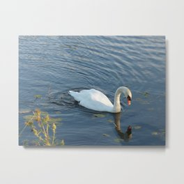 Pure white swan in dark blue water  Metal Print