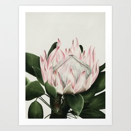Protea Flower in Beautiful Shades of Pink and Green Art Print