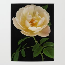 English Roses Collection Poster