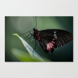 butterfly eatting Canvas Print
