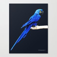 Hyacinth Macaw parrot Canvas Print