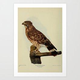 Broad winged Hawk buteo latissimus4 Art Print