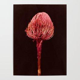 Pink Native Banksia Poster