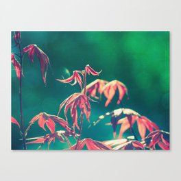 Renewal 2,  Spring Botanical New Red Maple Leaves Dance in the Sunlight Canvas Print