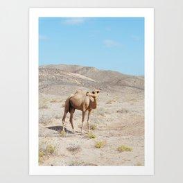 Camel / Dromedary in the Desert of Oman Art Print