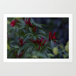 Red chili peppers in the plant Art Print