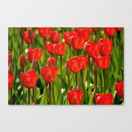 Rote Tulpen Canvas Print