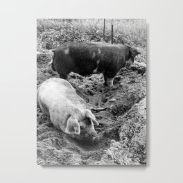 A Couple of Big Pigs Black & White Metal Print