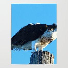 Osprey On A Pole Poster