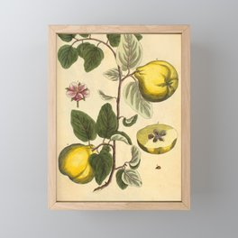 """Qiunce by Elizabeth Blackwell from """"A Curious Herbal,"""" 1737 (benefiting The Nature Conservancy) Framed Mini Art Print"""