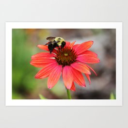 Bumble Bee On Coneflower Art Print