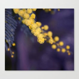 mimosa flower at night Canvas Print