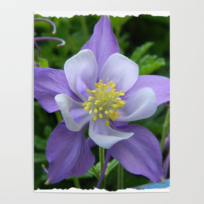 Columbine Flower 1 Poster By Colourblissart Society6
