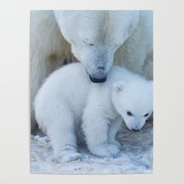 Polar Bear Mother and Cub portrait. Poster