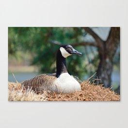 Nesting Canadian Goose Canvas Print
