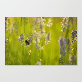 Bumblee in a field of lavender Canvas Print