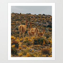 Family of Guanaco Art Print