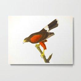 Louisiana Hawk Metal Print