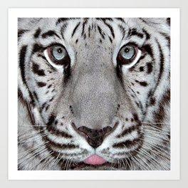 White Tiger with a little tougue Art Print