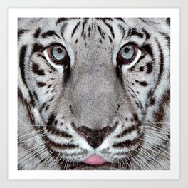 White Tiger with a little tougue Art Print