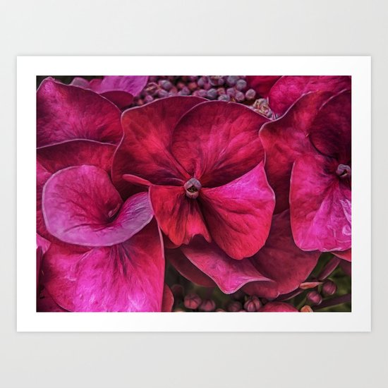 Hydrangea Red blooms Art Print