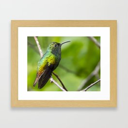 Coppery Headed Emerald Hummingbird Framed Art Print