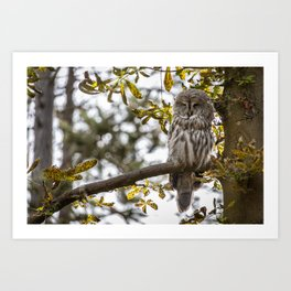Great grey owl resting on a tree in the morning Art Print
