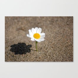 daisy in the sand Canvas Print