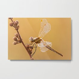 The Red-veined darter (female)// A dragonfly Metal Print