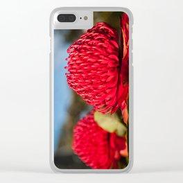 Huge red Waratah flowerheads in spring Clear iPhone Case