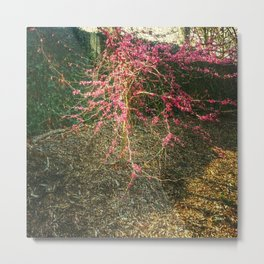 Chinese Red Bud  Metal Print