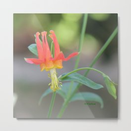 Pastel Columbine Afternoon Metal Print