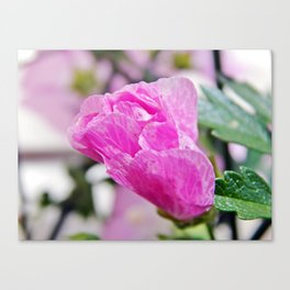 Pink Musk Mallow Rolled-up Canvas Print