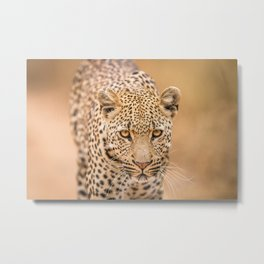 Leopard starring at you Metal Print
