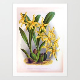 Yellow Orchids Vintage Odontoglossun Ordoratum  Art Print