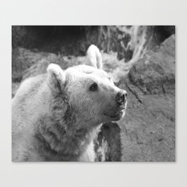 Syrian Brown Bear Portrait Canvas Print